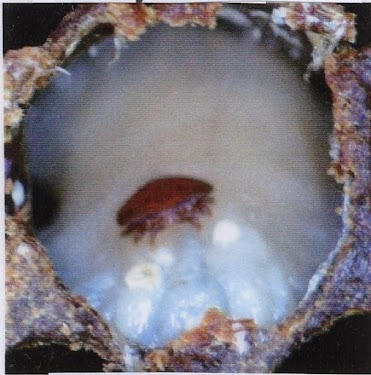 PMS larva with varroa