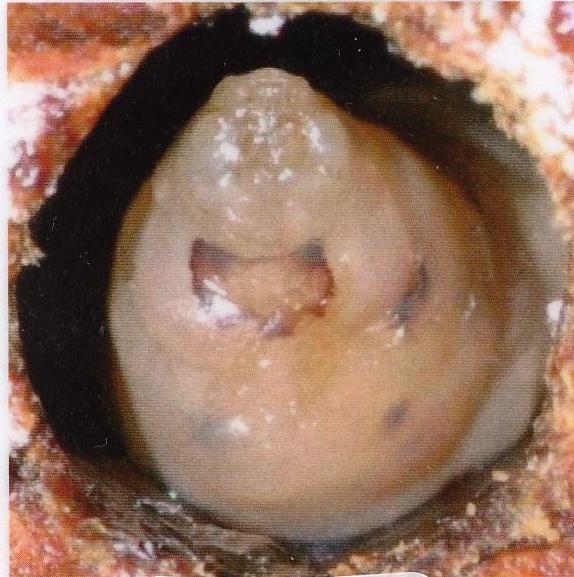 Swollen larva